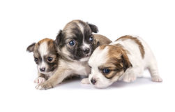 Tiny three Chihuahua puppies. Timidly making first steps on white background Stock Image
