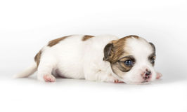 Tiny  three weeks old Chihuahua puppy Stock Photos