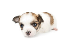 Tiny three weeks old Chihuahua puppy close-up. On white background Royalty Free Stock Image