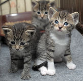 Small striped kittens Stock Image