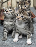 Small striped kittens. Tiny tiger striped kittens look forward with beautiful blue eyes stock images