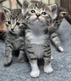 Small striped kittens Royalty Free Stock Images