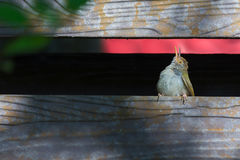 Tiny tiny cute bird. Juvenile Common tailorbird Orthotomus sutorius making a living preying small insect royalty free stock images