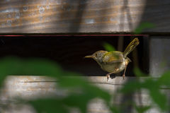 Tiny tiny cute bird. Juvenile Common tailorbird Orthotomus sutorius making a living preying small insect stock photos