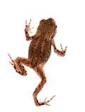 Tiny toad isolated on white background. Stock Image