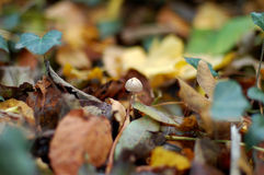 Tiny toadstool in the woods Royalty Free Stock Photo