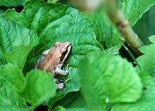 Tiny Tree frog. A closeup of a tiny tree frog, hiding between green leaves Royalty Free Stock Photo