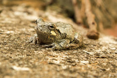 Tiny Tree Frog Close-up Royalty Free Stock Photos
