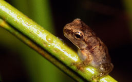 Tiny tree frog on grass stem. Tiny tree frog perched on a grass stem with morning dew Stock Photos