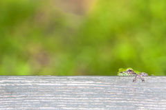 Tiny Tree Frog Peeking over Bench Plank Royalty Free Stock Photography