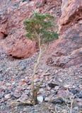 Tiny Tree Royalty Free Stock Photos