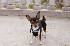 Tiny tricolor chihuahua staring intently while standing on stone terrace royalty free stock images