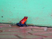 Tiny Red Poison Dart Frog Against Mint Green Wall. Tiny tropical red poison dart frog against Tiffany`s mint blue wall Royalty Free Stock Images
