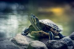 Tiny turtle on a small rock. Cute small tiny turtle on a small rock by the pond shore in a zoo royalty free stock photography