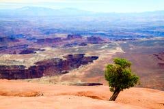A tiny Utah juniper overlooks the canyons Royalty Free Stock Photos