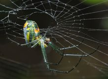 Tiny Venusta Orchard Spider Hanging From It`s Web Stock Photo