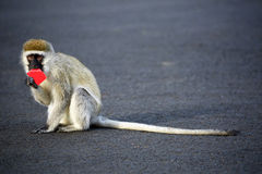 Tiny Vervet Monkey in Naivasha, Kenya. Stock Photos