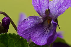 Tiny violets, spring is already here. Royalty Free Stock Photo
