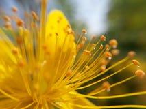 Tiny water drops on stigma. Stigma closeup of yellow Stock Photo