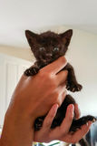 Tiny weeks old black  kitten in hands. Small black kitten looking forward at camera while being held up in two hands Royalty Free Stock Image