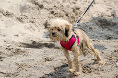 Tiny wet dog on the beach Stock Photography