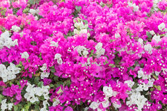 Bougainvillea Vines Royalty Free Stock Photo