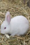 Tiny White Bunny Stock Image