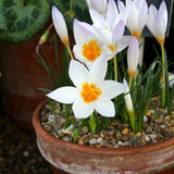 Tiny white Crocus flowers Stock Photo