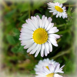 Tiny white daisies. In the park Royalty Free Stock Photography