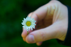 Tiny White Daisy Held in Hand. Small daisy petals close up with blurred background of adult hand royalty free stock images