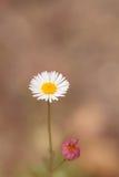 Tiny white daisy Prairie Fleabane Erigeron strigosus Stock Photo