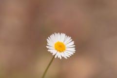 Tiny white daisy Prairie Fleabane Erigeron strigosus Stock Image