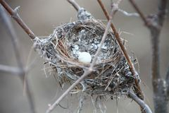 Tiny white egg in nest. One tiny white birds egg in a small nest made of twigs against a neutral blurred background Royalty Free Stock Photography