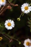 Tiny white fleabane daisy Royalty Free Stock Image