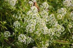 Tiny white flower bush in the garden. Tiny cute white flower bush in the garden Royalty Free Stock Photos