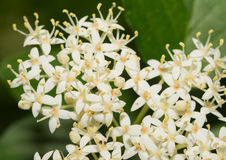 Tiny white flower clusters of Roughleaf Dogwood Stock Images