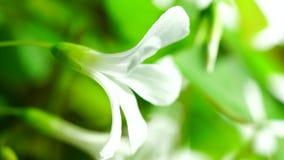 Tiny white flower in sunlight stock video