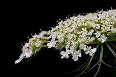 Tiny white flowers Royalty Free Stock Photos