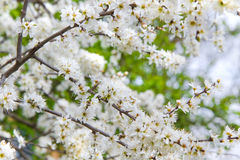 Tiny white flowers on Blackthorn or Sloe. Tiny white flowers on Blackthorn, Sloe or Prunus spinoza branches in early spring Royalty Free Stock Photo