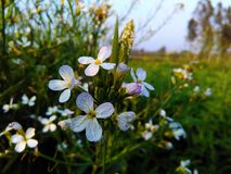 Tiny white flowers. In farrms Stock Images