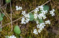 Tiny White Flowers Surrounded With Moss. Tiny White Flowers with blurred background of moss in early spring Stock Image