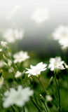 Tiny white ground covered flowers Royalty Free Stock Photo