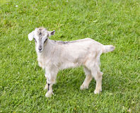 Tiny white little kid goat on bright green grass lawn Stock Photography