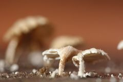 Tiny White Mushroom in rain season on moisture old wood on floor. Macro photography of mushroom, selective focus, blur some part stock photography