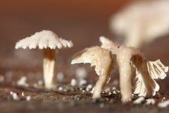 Tiny White Mushroom in rain season on moisture old wood on floor Stock Photos