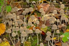 Tiny white mushrooms and autumn leafs on the forest floor Stock Images