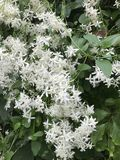 Tiny white petals on a shrub growing in Pennsylvania wood Royalty Free Stock Image