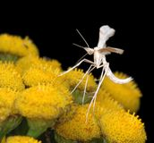 The tiny  White Plume Moth Stock Image