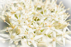 Tiny white spring flowers in close view Royalty Free Stock Photo