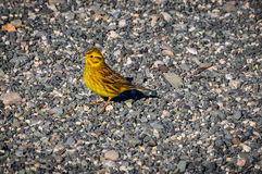 Tiny yellow bird in South Island, New Zealand. Tiny yellow bird in the Southern Scenic Route, New Zealand Royalty Free Stock Images
